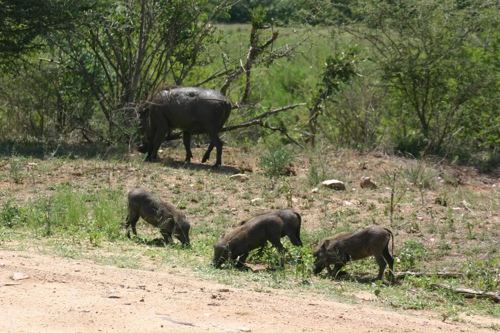 Viaje kenia amboseli 8 dias WarthogFamily zpsc254464d