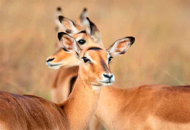 Foto del viaje ofertas kenia amboseli 8 dias gacelas kenia bidtravel