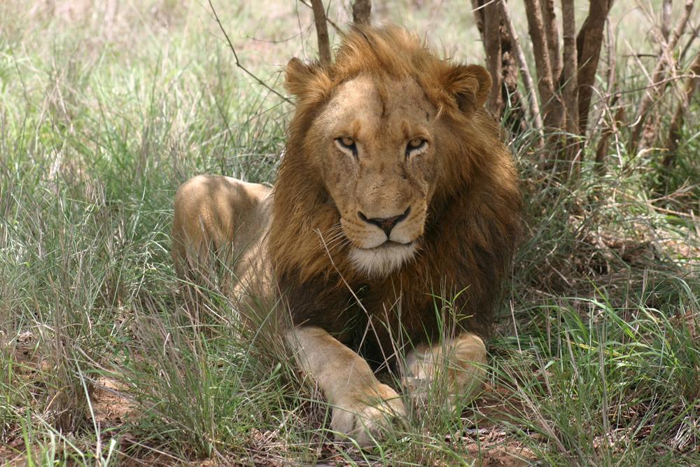 Viaje safari keniata conocedores LionKruger zps35f9f24b