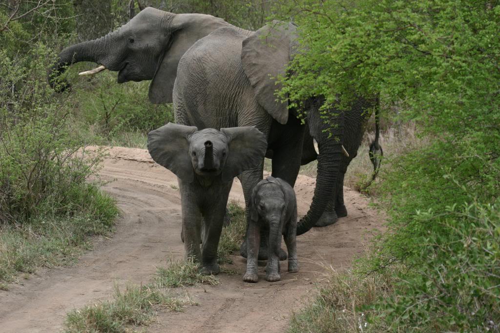 Viaje safari gran clase PrivateReserveElephants zpsaf510e49