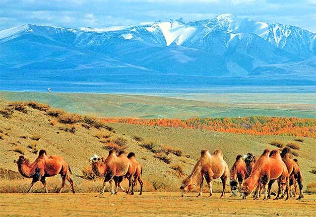 Viaje trans uzbekistan cultural Camellos en Uzbekistan
