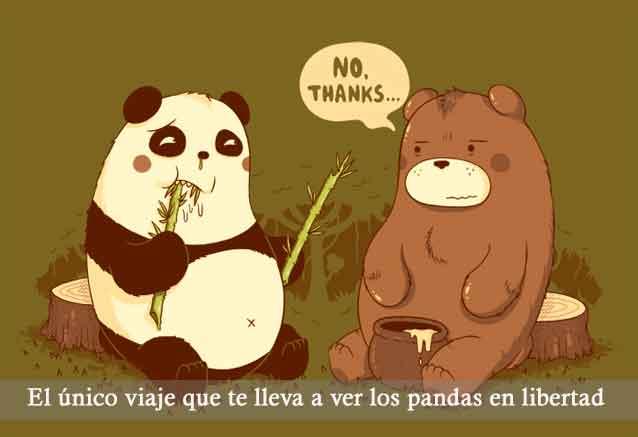 Viaje osos panda china pandas en libertad