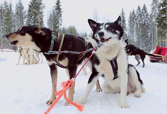 Viaje navidad papa noel finlandia huskys preparados trineo