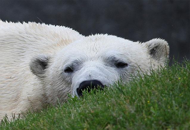 Viaje canada clasico rocosas oso canadiense