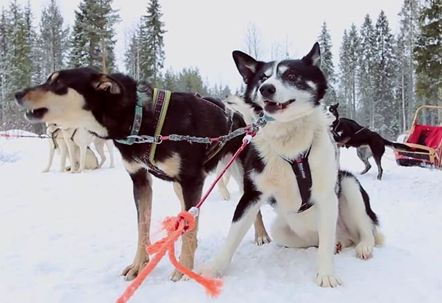 Viaje leyendas invierno laponia huskys preparados trineo